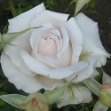 Picture of Land of The Long White Cloud Std 80cm-Rose