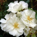 Picture of Flower Carpet White-Rose