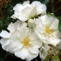 Picture of Flower Carpet White Std 90cm-Rose