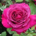 Picture of Big Purple-Rose