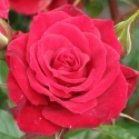 Picture of Patio Jewel Std 45cm-Rose