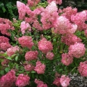 Picture of Hydrangea Paniculata Pink Persuasion
