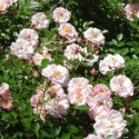 Picture of Charming Bells Std 80cm-Rose