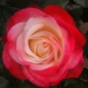 Picture of Nostalgia-Rose
