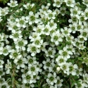 Picture of Leptospermum White Waterfall