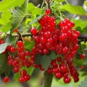 Picture of Currant Laxton Red