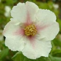 Picture of Philadelphus Sybille