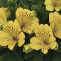 Picture of Alstroemeria Gold Rush