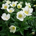 Picture of Anemone Snow Queen