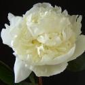Picture of Peony Duchesse de Nemours tuber