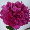 Picture of Peony Kansas tuber