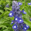 Picture of Salvia Sallyfun Blue