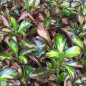 Picture of Coprosma Evening Glow