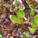 Picture of Coprosma Karo Red
