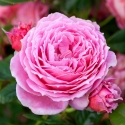 Picture of My Grandma-Rose