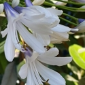 Picture of Agapanthus Blue Ice