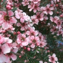 Picture of Leptospermum Pink Cascade