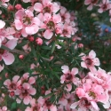 Picture of Leptospermum Pink Cascade STD