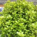 Picture of Pittosporum Little Kiwi
