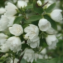 Picture of Philadelphus Manteau d'Hermine