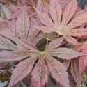 Picture of Acer Mirte