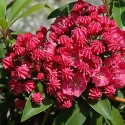 Picture of Kalmia Raspberry Glow