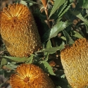 Picture of Banksia Ornata Caramel