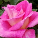 Picture of Catherine Std 80cm-Rose