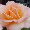 Picture of Hamilton Gardens-Rose