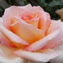 Picture of Hamilton Gardens Std 80cm-Rose