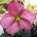Picture of Helleborus Madame Lemonnier