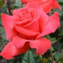 Picture of Tobasco-Rose