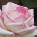 Picture of Diamond Design Std 80cm-Rose