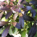 Picture of Pseudopanax Black Knight
