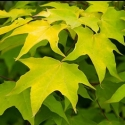 Picture of Acer C. Aureum