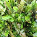 Picture of Leptinella Dioica
