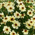 Picture of Coreopsis Highland Haze