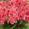 Picture of Geranium Aristo Orange