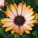 Picture of Osteospermum Margarita Sunset
