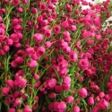 Picture of Boronia Lipstick