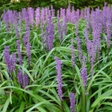 Picture of Liriope Blue Skies