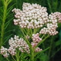 Picture of Ozothamnus Springtime White