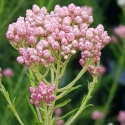 Picture of Ozothamnus Just Blush