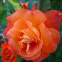 Picture of Christchurch Std 80cm-Rose