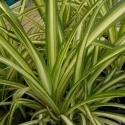 Picture of Chlorophytum Comosum