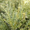 Picture of Podocarpus Nivalis
