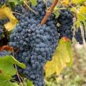 Picture of Grape Pinot Meunier