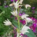 Picture of Dendrobium sp