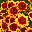Picture of Coreopsis Highland Blast
