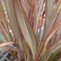 Picture of Phormium Surfer Bronze